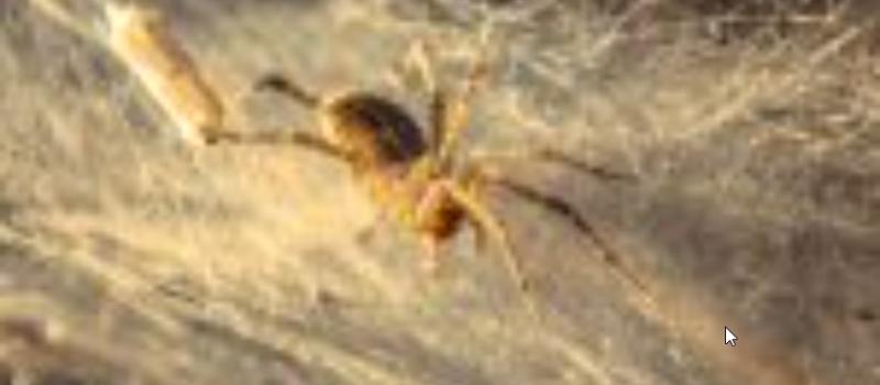 Queanbeyan Spider Pest Control