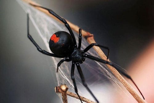 Spiders Commonly Found in Canberra
